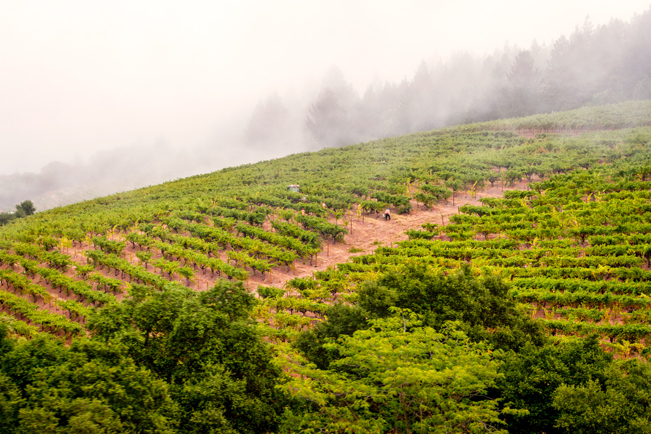 At the Heart of DuMOL - vineyards with fog